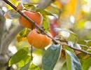 柿の木.jpg